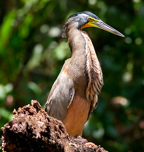 Bare-throat tiger heron (37)