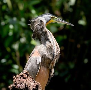 Bare-throat tiger heron (34)-01