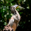 Bare-throat tiger heron (34)-01
