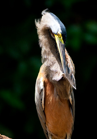 Bare-throat tiger heron (47)