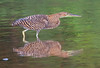 Bare-throated Tiger Heron_07-08-17_0006
