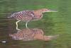 Bare-throated Tiger Heron_07-08-17_0006