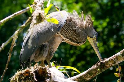 bare-throated tiger heron (12)_CostaRica-05_07-15-05