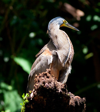 Bare-throat tiger heron (31)