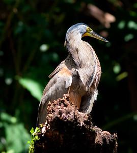 Bare-throat tiger heron (31)