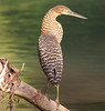 Bare-throated Tiger Heron_07-08-17_0021