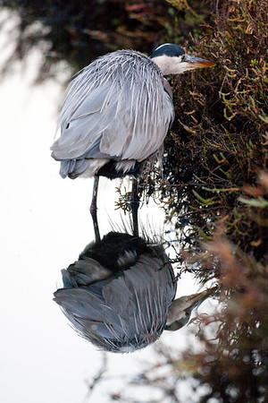 Black crown night heronn (100)