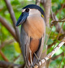 Boat-billed Heron_07-08-20_0026