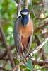 Boat-billed Heron_07-08-20_0027