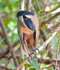 Boat-billed Heron_07-08-20_0029