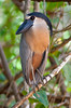 Boat-billed Heron_07-08-20_0020