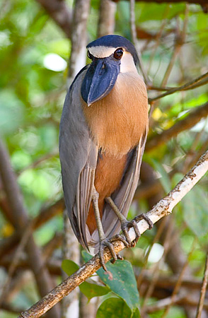 Boat-billed Heron_07-08-20_0018