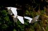 Cattle Egret_07-08-18_0003