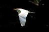 Cattle Egret_07-08-16_0003
