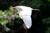 Cattle Egret_07-08-16_0005