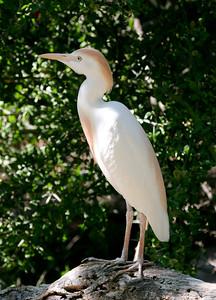 Male Egret
