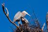 GrtBluHeron BolChica_IMG_3214_2011-02-12-10-20-40
