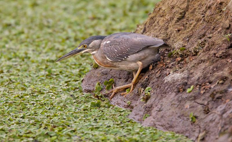 GreenHeron Pantanal_7I2B9161_10-09-26