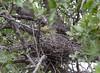 GrnBakHeron Okavango_14-03-11_IMG_6761
