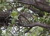 GrnBakHeron Okavango_14-03-11_IMG_6765