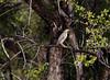 GreenBackHeron OkavangoDelta_14-03-11__O6B1855