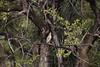 GreenBackHeron OkavangoDelta_14-03-11__O6B1856