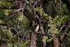 GreenBackHeron OkavangoDelta_14-03-11__O6B1858