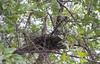GrnBakHeron Okavango_14-03-10_IMG_6698