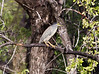 GreenBackHeron OkavangoDelta_14-03-11__O6B1854