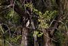 GreenBackHeron OkavangoDelta_14-03-11__O6B1857