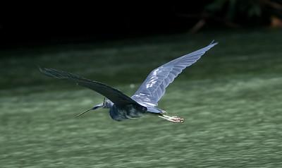 Little-blue Heron_07-08-16_0006