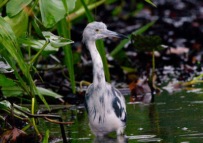 little blue heron (8)
