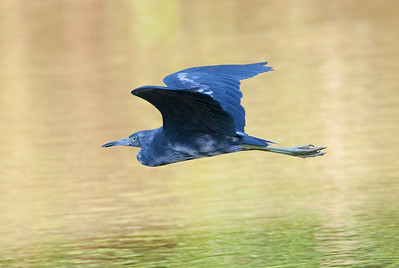 Little Blue Heron_07-08-17_0001