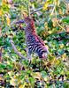 Rufescent Tiger Heron Pant_06-08-13_0012