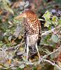 Rufescent Tiger Heron Pant_06-08-16_0027