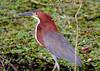 Rufescent Tiger Heron Pant_06-08-15_0019
