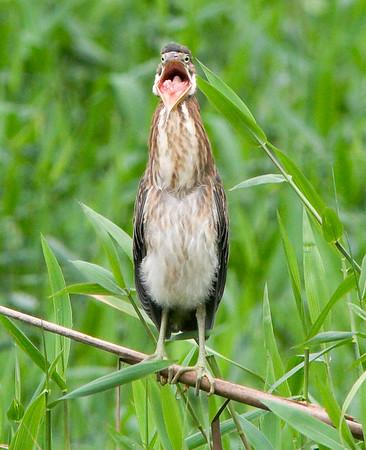 Rufescenttiger heron (4)
