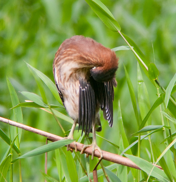 Rufescenttiger heron (6)