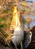 Rufescent Tiger Heron Pant_06-08-13_0007