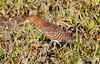 Rufescent Tiger Heron Pant_06-08-15_0015