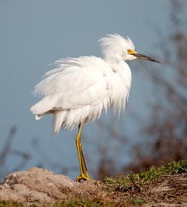 Snowy Egret, Ormond_07-11-29_0005
