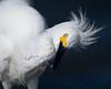 snowy egret Bolsa Chica_08-08-24_IMG_9634-3