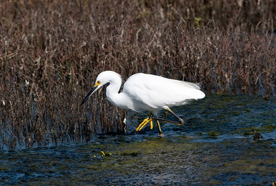 egret (5)