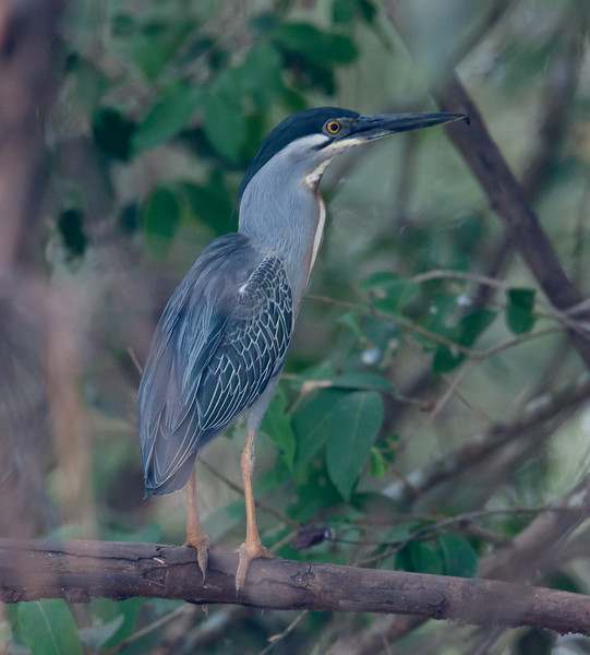 BluStripeHeron Pantanal_7I2B8761_10-09-24