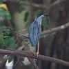 BluStripeHeron Pantanal_7I2B8763_10-09-24