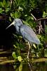 untitled20110202_TriColHer DingDarlingFL_7I2B4245_11-02-02