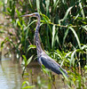 Little-blue Heron_07-08-13_0003