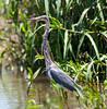 Little-blue Heron_07-08-13_0003