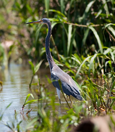 Little-blue Heron_07-08-13_0001