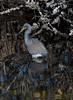 untitled20110128_TricolorHeron MerrittIslandFL_7I2B3308_11-01-28